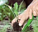 капуста белокочанная, рассада капусты, как вырастить капусту