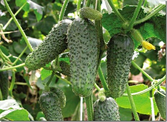 Как вырастить огурцы, правильное выращивание огурцов,подкормка огурцов,проращивание семян огурцов