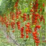 Помидоры, подготовка семян,выращивание помидоров , томаты, помидоры, семена помидор, семена томатов, как вырастить помидоры, как вырастить томаты