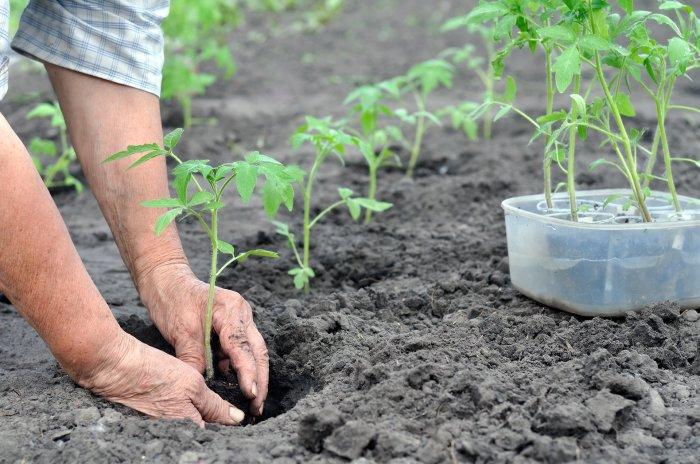 Выращивание рассады овощей для открытого грунта
