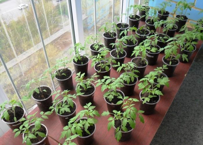 Выращивание рассады и ее световой режим
