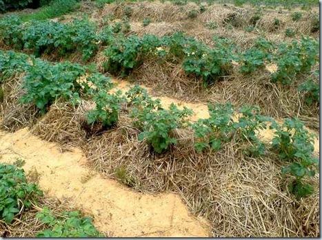 сажаем картошку под соломой, как посадить картошку, посадка картошки, картофель, картошка, картошка в соломе