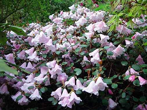 rhododendron kaufen rhododendron kaufen rhododendron. Black Bedroom Furniture Sets. Home Design Ideas