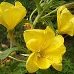 цветок, лист, желтый, многолетник, июнь, ланцетовидный, травянистый, белые, беседка, сентябрь