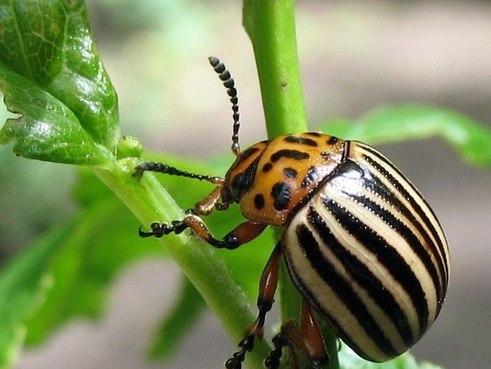 колорадские жуки,борьба с колорадским жуком, как вывести колорадского жука, колорадский жук