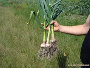 как вырастить зимний чеснок, яровой чеснок,озимый чеснок
