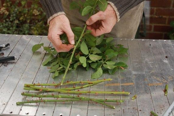 размножение роз черенками, размножение роз, размножение розы, как размножать розы,черенкование роз,розы,разведение роз