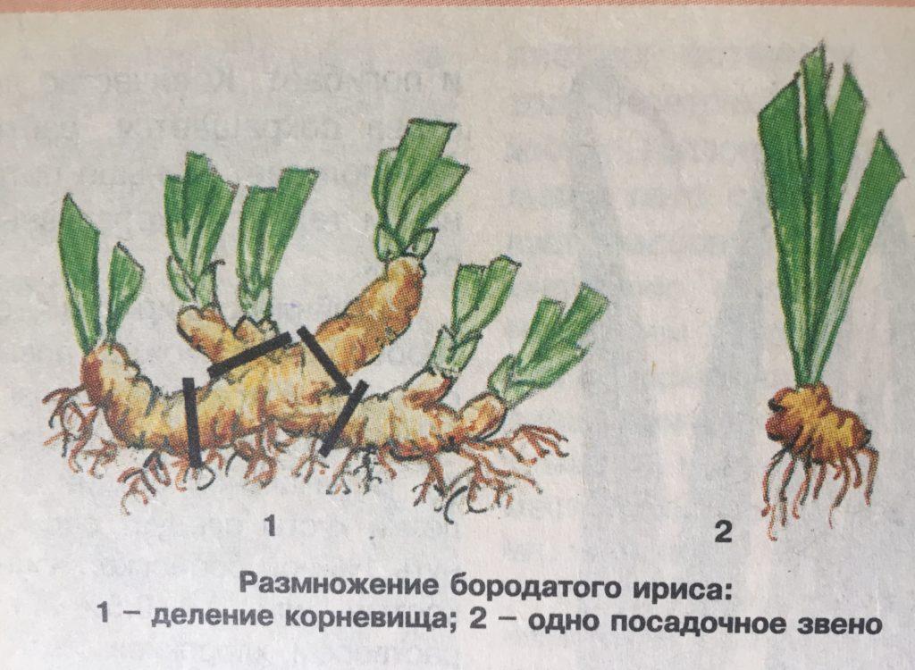 razmnozhenie-borodatyh-irisov-1024x750