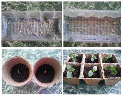 выращивание рассады огурцов в горшочках