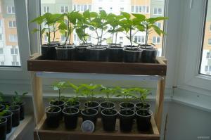 pomidory_na_balkone