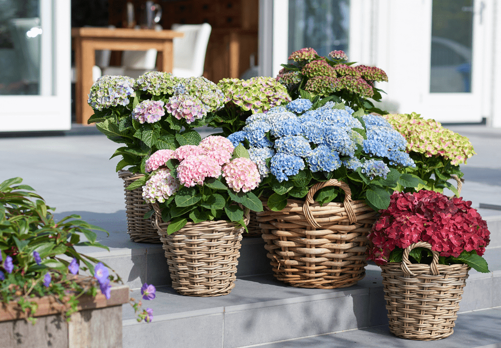 magical_hortensia_mix_magical_four_seasons-lrjpg